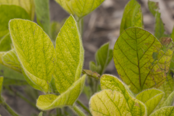 Iron deficiency chlorosis (IDC) in soybeans.