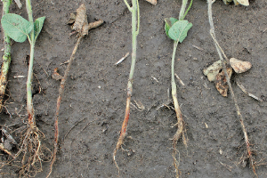 Soybean roots infected with fungus that causes rhizoctonia seedling blight.