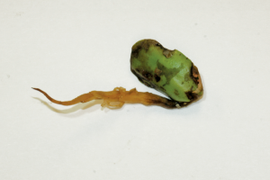 Soybean seedling with pythium infection.