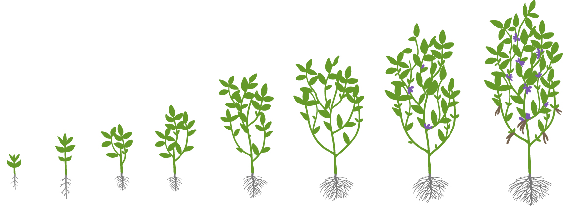 Soybean growth stages illustration