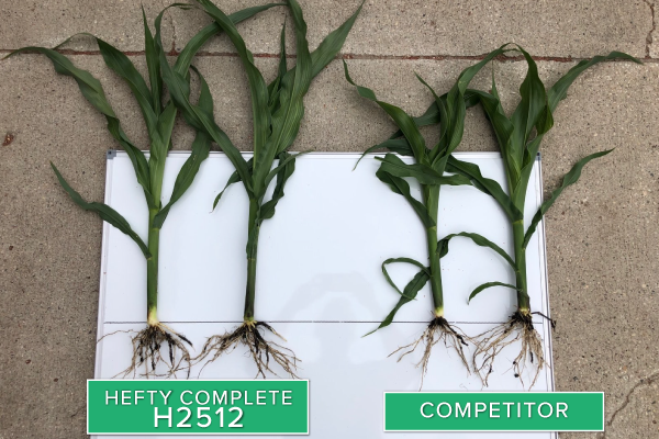 Hefty Brand Corn 2512 Treated with Hefty Complete Seed Treatment compared to competitor seed in Thief River Falls, MN.