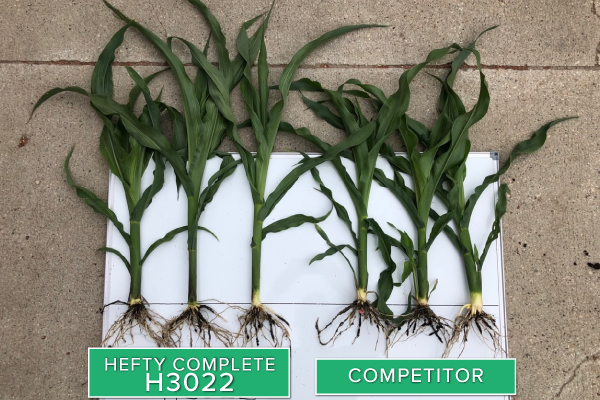 Hefty Brand Corn 3022 Treated with Hefty Complete Seed Treatment compared to competitor seed in Thief River Falls, MN.