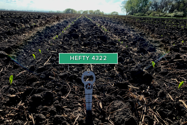 Hefty Brand Corn 4322 in Fargo, ND May, 20 2020