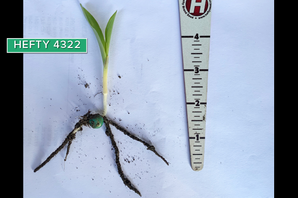 Hefty Brand Corn 4322 in Fargo, ND May 20, 2020
