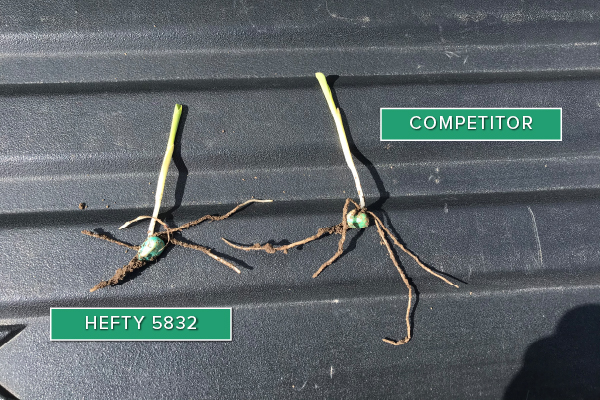 Hefty Brand Corn 5832 Treated with Hefty Complete Seed Treatment compared to competitor seed in Centerville, SD.