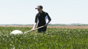 Young farmer using a sweep net to scout for pests in a wheat field.