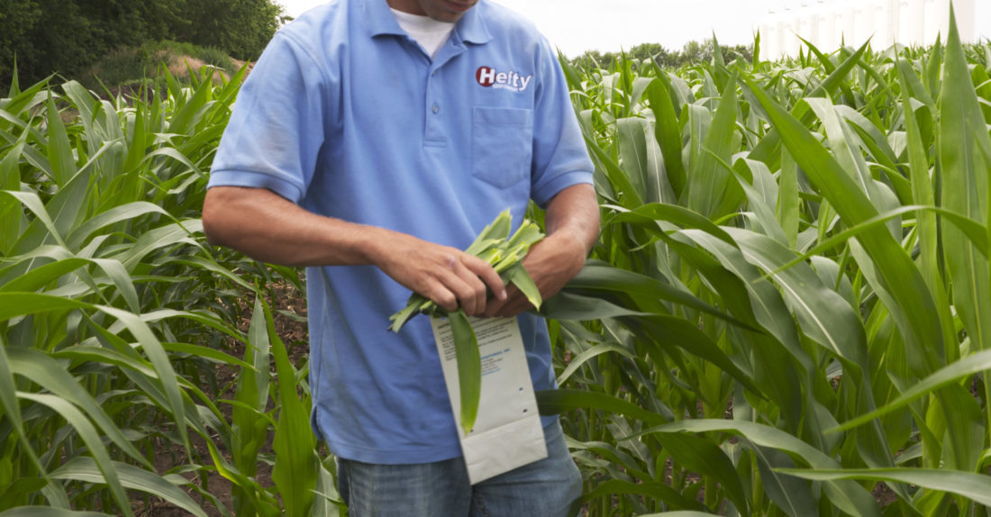 Hefty agronomist placing corn leaves into a plant tissue analysis bag for submitting a plant tissue analysis test.