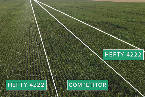 Hefty Brand Corn 4222 Treated with Hefty Complete Seed Treatment compared to competitor seed in Thief River Falls, MN.