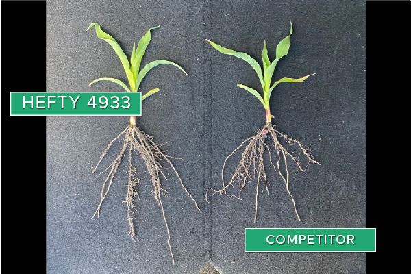 Hefty Brand Corn 4933 Treated with Hefty Complete Seed Treatment compared to competitor seed in Canby, MN.