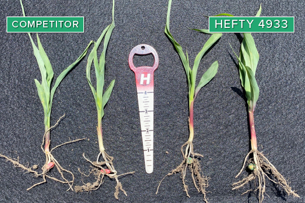 Hefty Brand Corn 4933 Treated with Hefty Complete Seed Treatment compared to competitor seed in Groton, SD