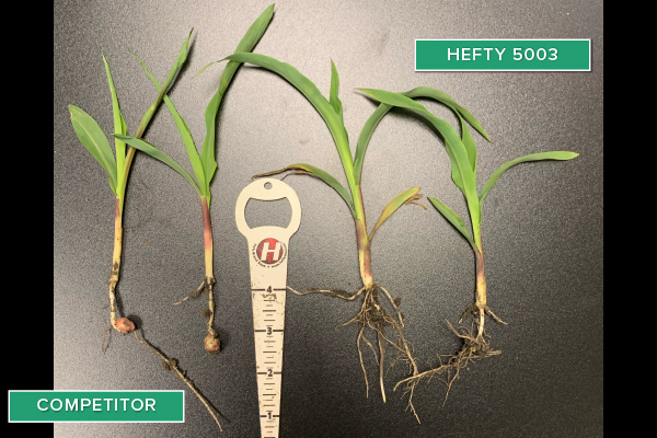Hefty Brand Corn 5003 Treated with Hefty Complete Seed Treatment compared to competitor seed in Holstein, IA.