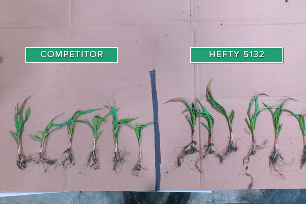 Hefty Brand Corn 5132 Treated with Hefty Complete Seed Treatment compared to competitor seed in St. James, MN.