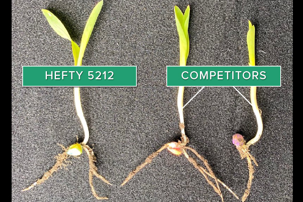 Hefty Brand Corn 5212 Treated with Hefty Complete Seed Treatment compared to competitor seed in Centerville, SD.