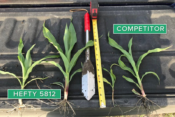 Hefty Brand Corn 5812 Treated with Hefty Complete Seed Treatment compared to competitor seed in Rockwell, IA.