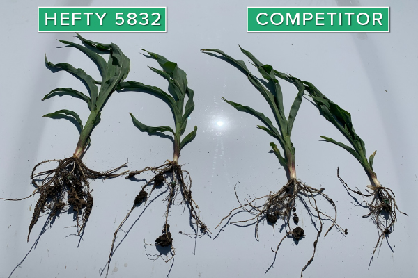 Hefty Brand Corn 5832 Treated with Hefty Complete Seed Treatment compared to competitor seed in Wakonda, SD.