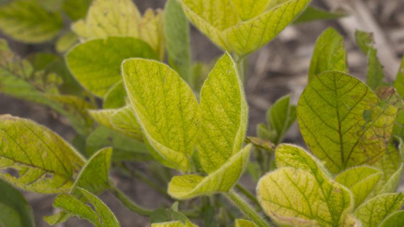 IDC Soybean leaves