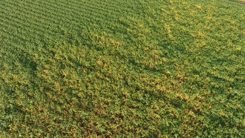 White mold infested soybean field drone photo