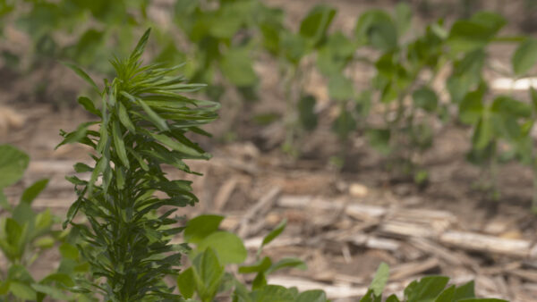 roundup resistant marestail