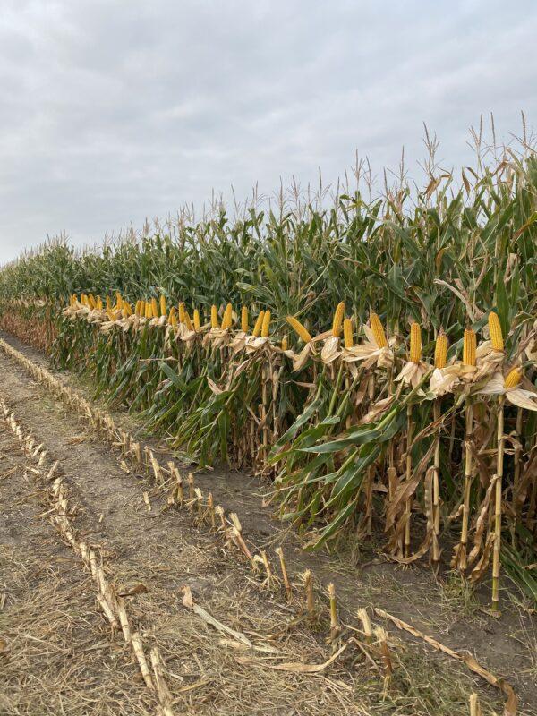 Hefty Brand Corn on Chad Kehn's farm