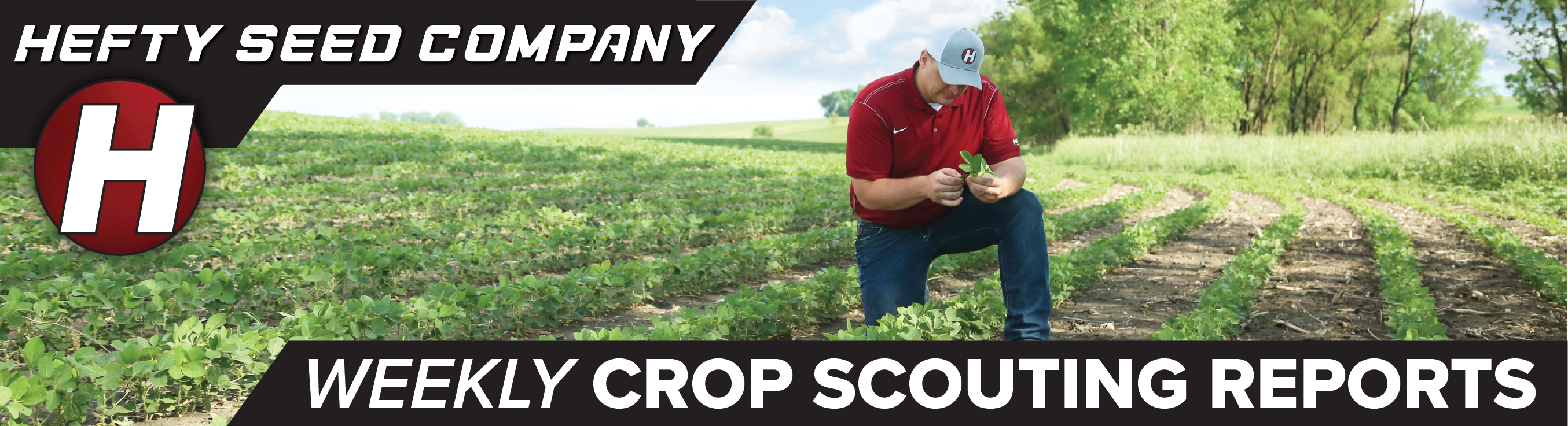 weekly crop scouting report image